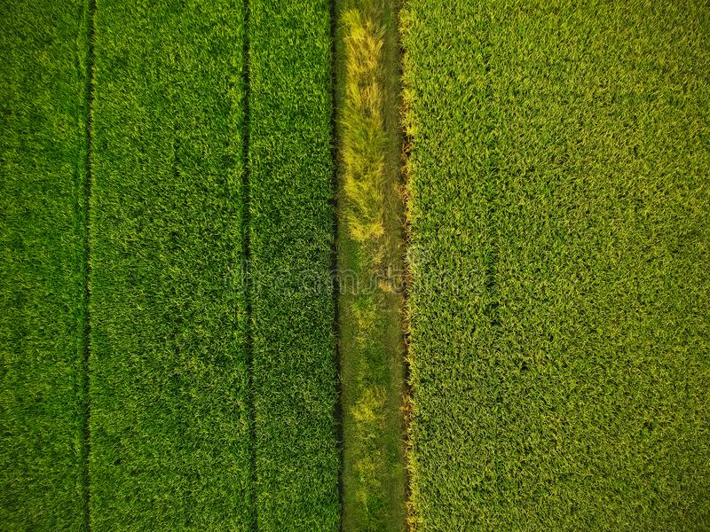 Aerial view of the green rice fields.  stock photos