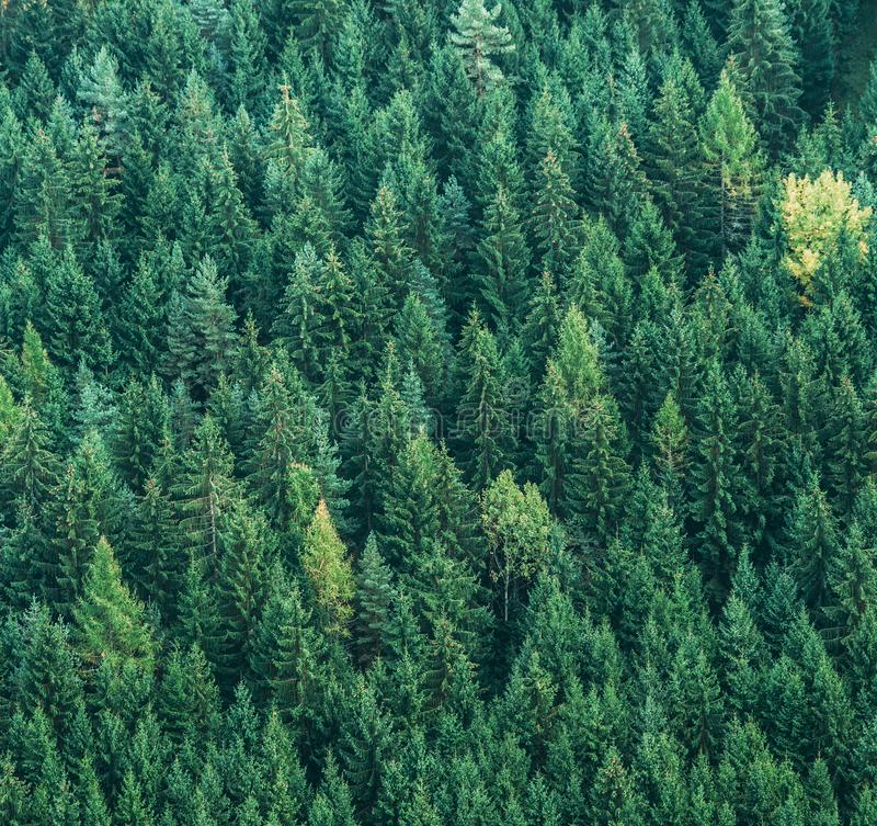 Aerial view of green spruce trees forest. Ecology nature concept background image royalty free stock photos
