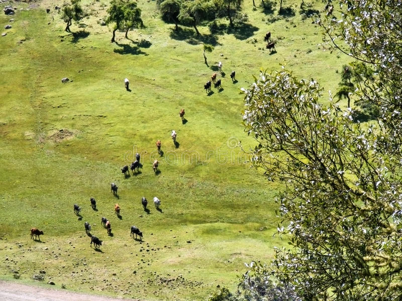 Aerial view at herd of cows in mountains royalty free stock photo
