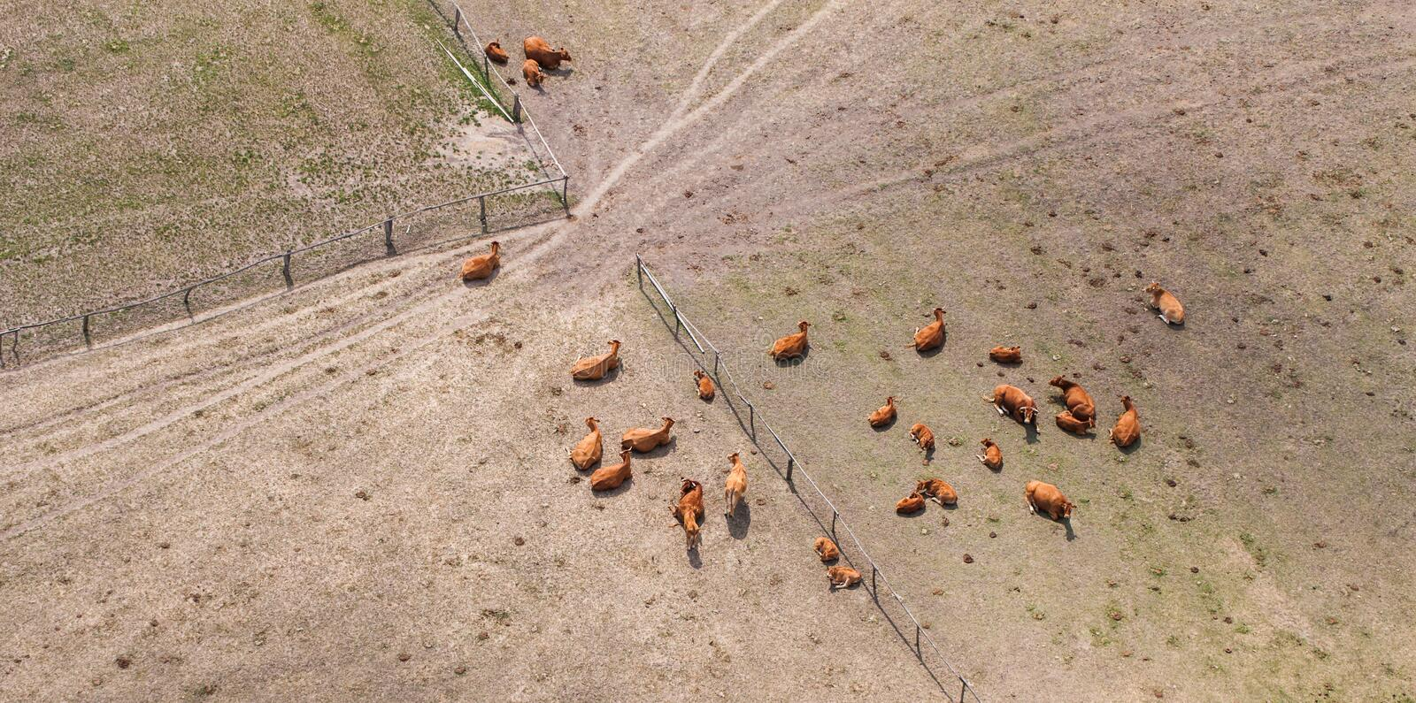 Aerial view of herd of cows at summer green field stock photography