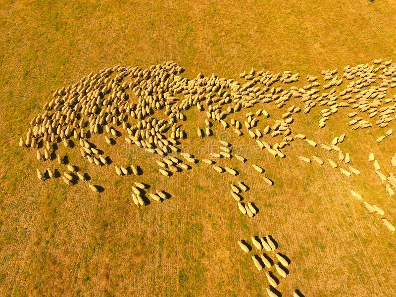 Aerial view of large Sheep Herd. In Outback Australia with farmer and sheep dog working n large sheep station royalty free stock photos