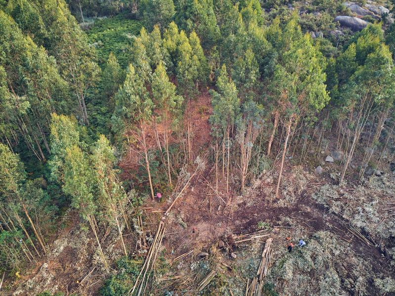 Aerial view of lumberjacks cutting trees in the forest royalty free stock images