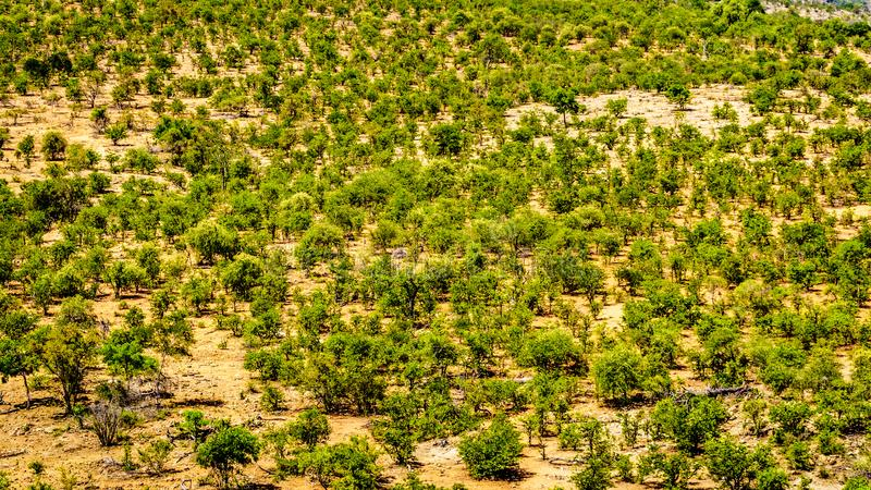 Aerial View of Mopane Trees in northern part of Kruger National Park. A large game reserve in South Africa royalty free stock image