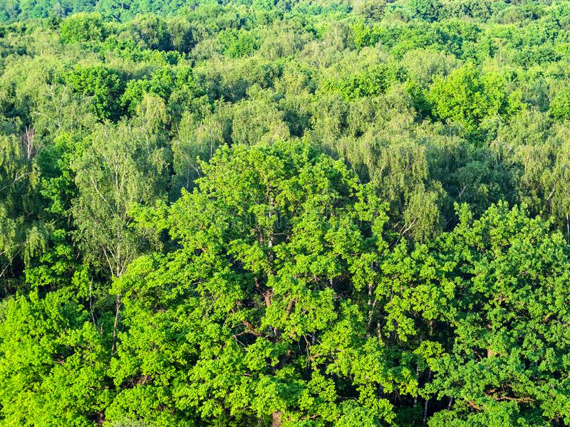 aerial view of oak tree in green forest in summer royalty free stock photography