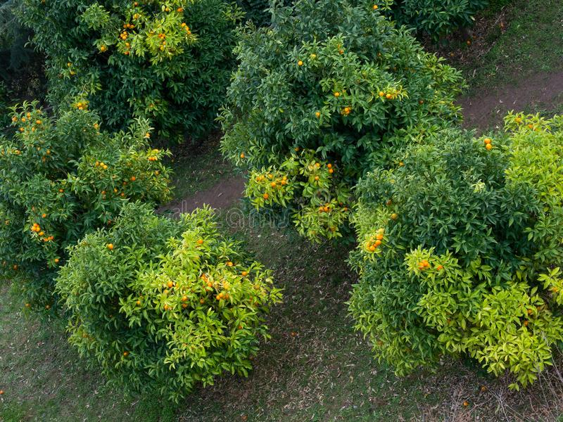 Aerial view of orange trees full of ripe juicy fruits. In a plantation stock images