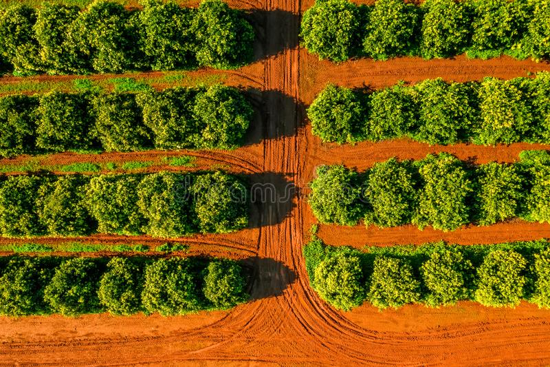 Aerial View Orange Trees Plantation.  royalty free stock images
