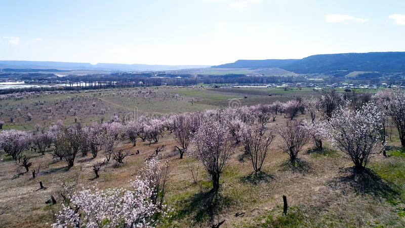 Aerial view over agricultural fields with blooming trees. Shot. Top view of the flowering fields of cherry trees royalty free stock photo