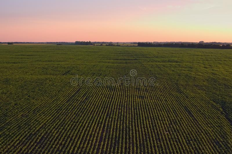 Aerial view over rows of plants at the agricultural fields during sunset on a sunny summer day. Kyiv region, Ukraine.  stock image