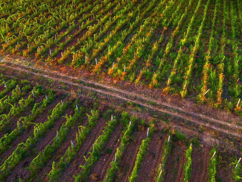 Aerial view over vineyard in Europe at sunset royalty free stock photography