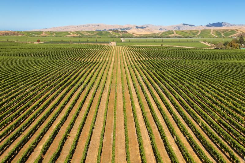 Aerial view of rows of grapevine growing in vineyards in Marlborough, New Zealand stock image