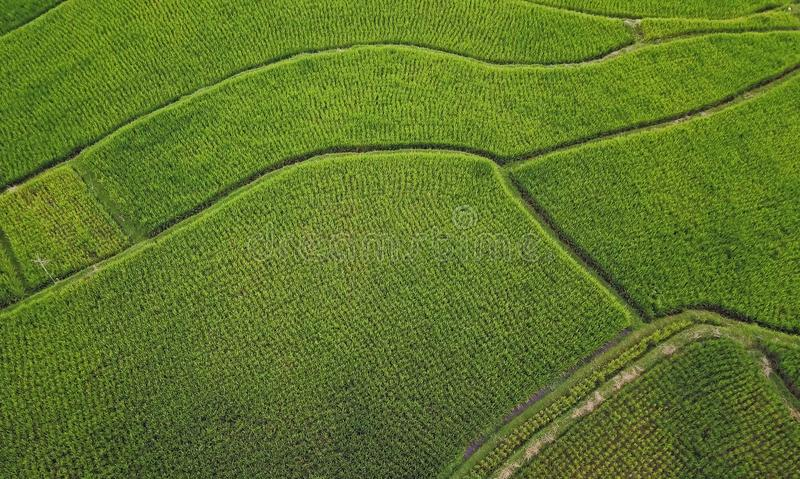 Aerial view shot with drone of Asian Ubud rural landscape of green organic rice fields in the island of Bali in Indonesia in farmi royalty free stock photos