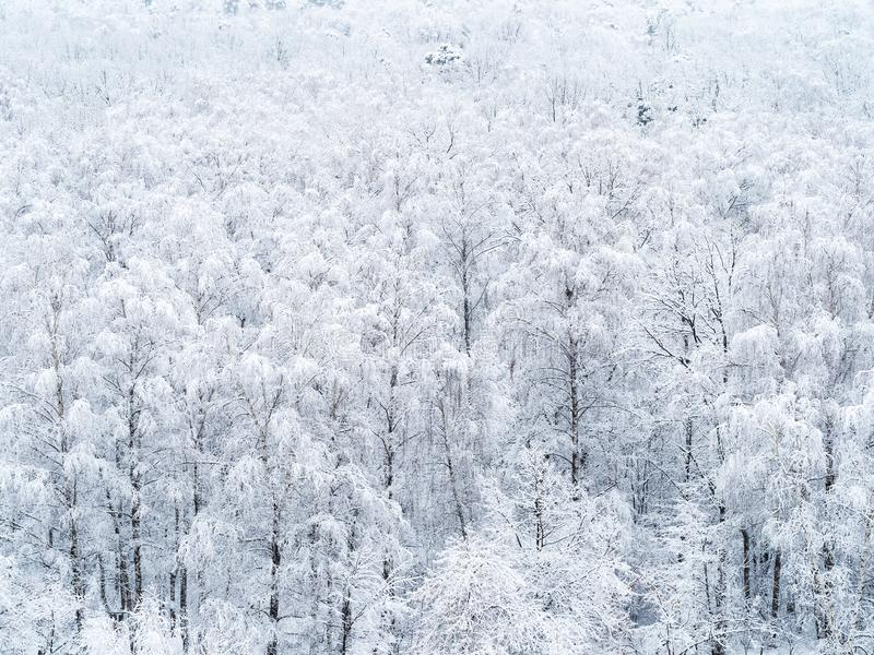 Aerial view of snow-covered birch grove royalty free stock photography