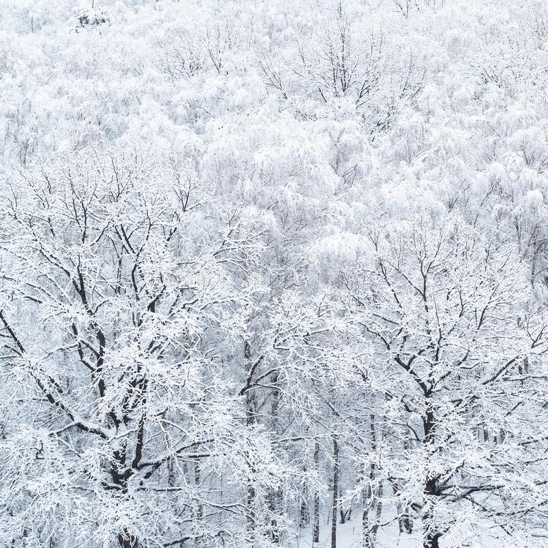 Aerial view of snow-covered oak trees in grove stock photo