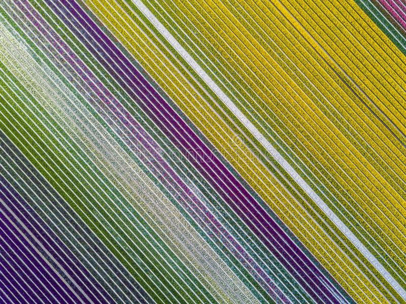 Aerial view of striped and colorful tulip field in the Noordoostpolder municipality, Flevoland. Netherlands stock photo