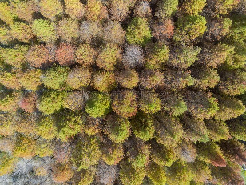 Aerial view of the Taxodium distichum in fall color with red with orange leaves. Aerial view of the Taxodium distichum in fall color with red, orange leaves at stock image