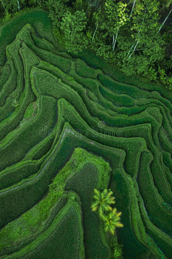 Aerial view of Tegallalang Bali rice terraces. Abstract geometric shapes of agricultural parcels in green color. Drone photo directly above field stock photo