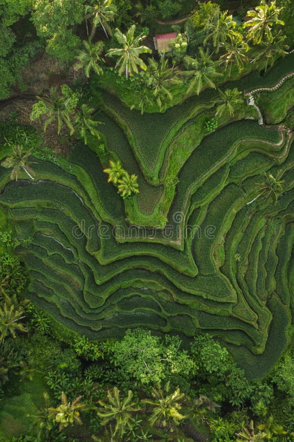 Aerial view of Tegallalang Bali rice terraces. Abstract geometric shapes of agricultural parcels in green color. Drone photo directly above field stock images
