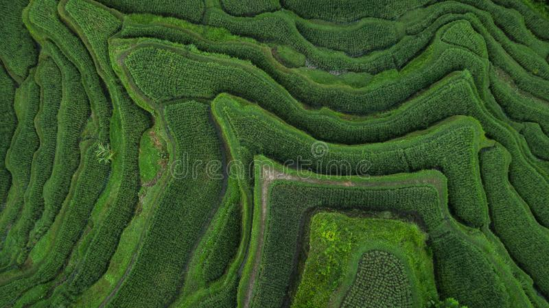 Aerial view of Tegallalang Bali rice terraces. Abstract geometric shapes of agricultural parcels in green color. Drone photo directly above field royalty free stock photos
