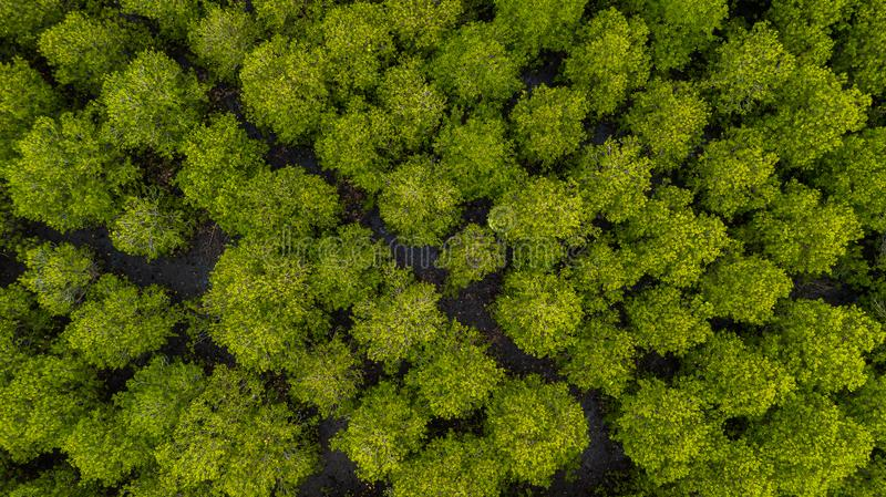 Top view of Forest Mangroves inTung Prong Thong or Golden Mangrove Field at Estuary Pra Sae, Rayong, Thailand. Aerial view or Top view of Forest Mangroves inTung stock photo
