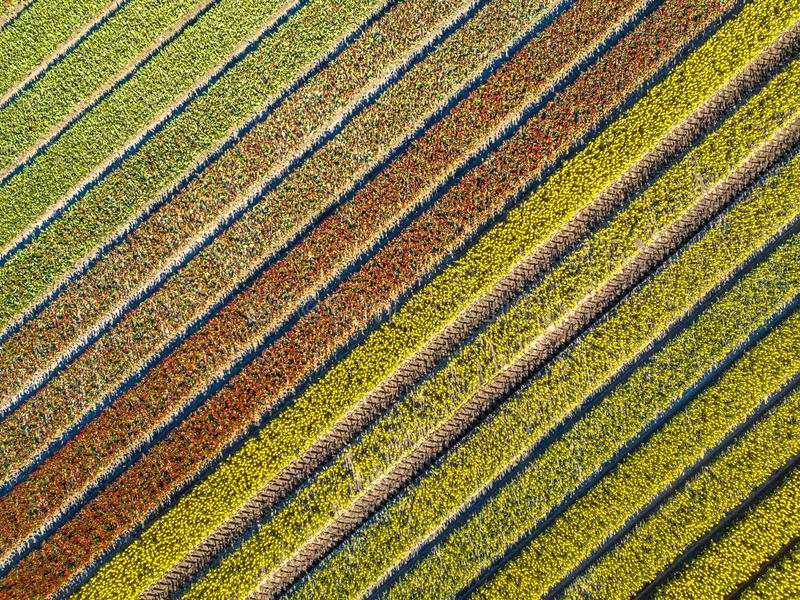 Aerial view Tulip field royalty free stock photo