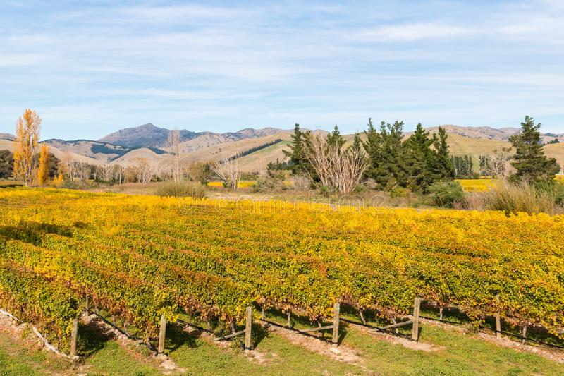 Vineyard in Marlborough region in New Zealand in autumn. Aerial view of vineyard in Marlborough region in New Zealand in autumn royalty free stock photography