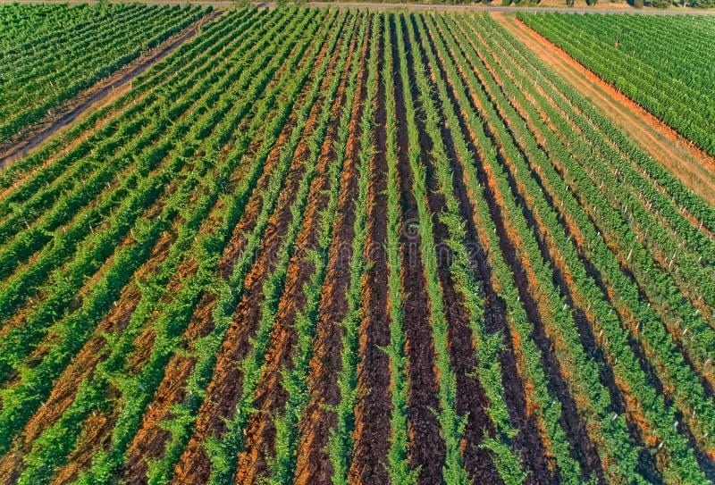Aerial view of the vineyards in Oklaj, in Croatia stock image