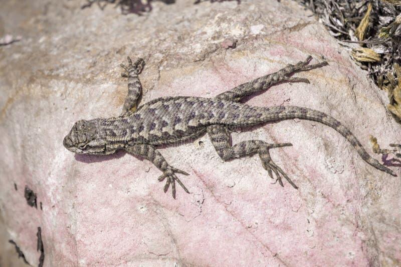Lizard sitting on Rock stock image. Image of lizard ...