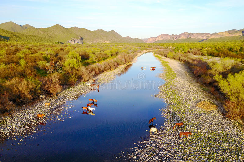 Aerial View of Wild Mustang Horses in Salt River, Arizona. Aerial View of Wild Mustang Horses crossing Salt River, east of Phoenix in Arizona stock photos