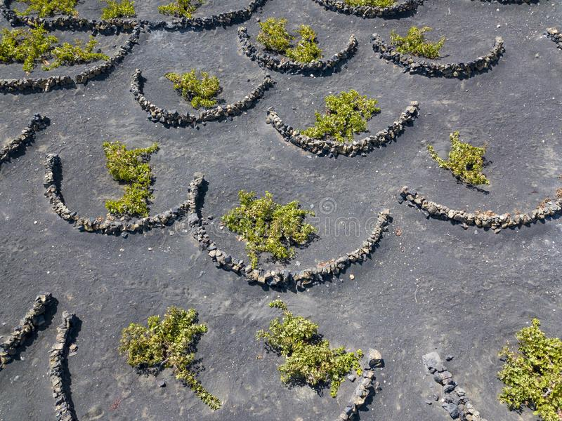 Aerial view of the wine cultivations on the volcanic soils of the island of Lanzarote. Canary Islands, Spain. Wine production. Aerial view of the wine stock photos