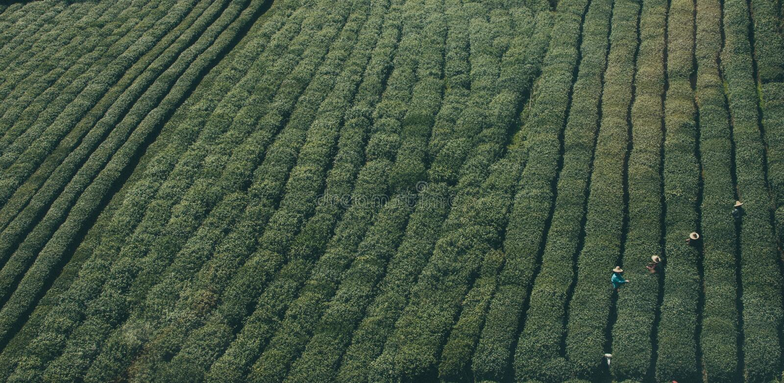 Aerial View Of Workers In Tea Plantation Free Public Domain Cc0 Image