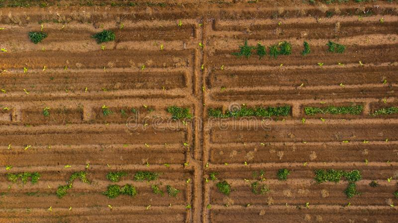 Aerial view of young banana plant farm with surface irrigation system,like a man made maze. Aerial view of young banana plant farm with surface irrigation royalty free stock image