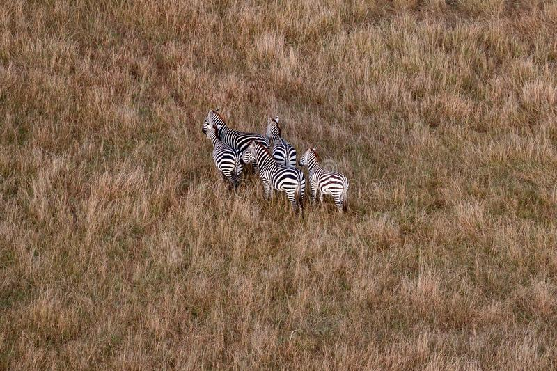 Aerial view of zebras in the Masai Mara, Kenya, Africa stock photos