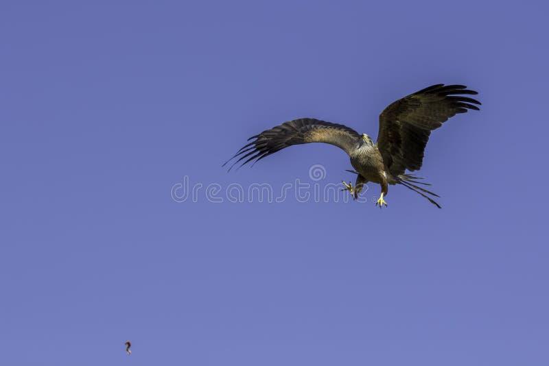 Aerobatic manewr Ptak catiching karmowego powietrze zdobycz zdjęcie stock