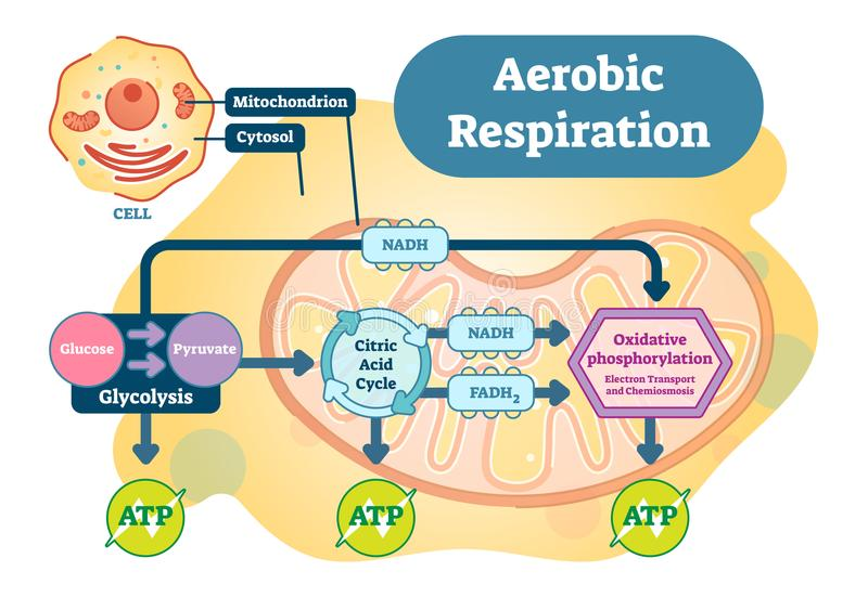 Aerobic Respiration bio anatomical vector illustration diagram. Educational medical scheme royalty free illustration