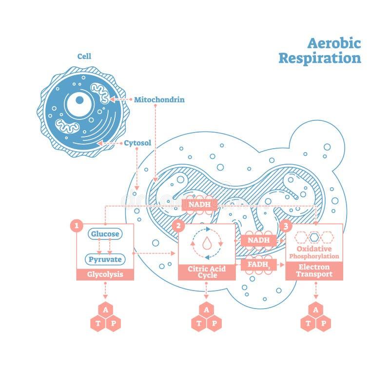 Aerobic Respiration bio anatomical vector illustration diagram, labeled medical scheme. Aerobic Respiration bio anatomical vector illustration diagram, labeled stock illustration