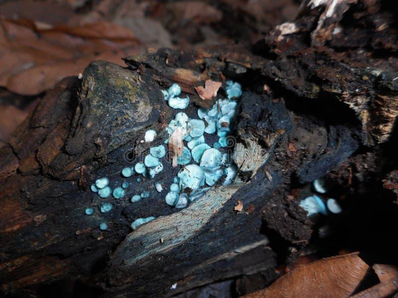 Aeruginosa de Chlorociboria do fungo de copo do duende fotografia de stock