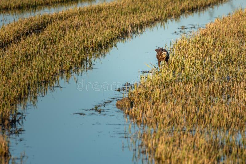 Aeruginosus del circo di Marsh Harrier che cerca in un giacimento del riso nel parco naturale di Albufera, Valencia, Spagna fotografie stock libere da diritti