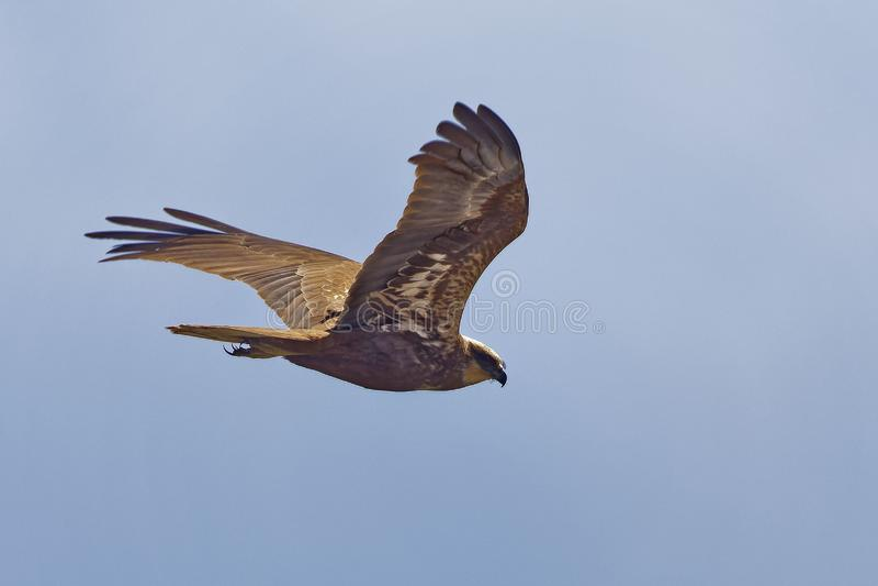 Aeruginosus del circo, Marsh Harrier fotografia stock