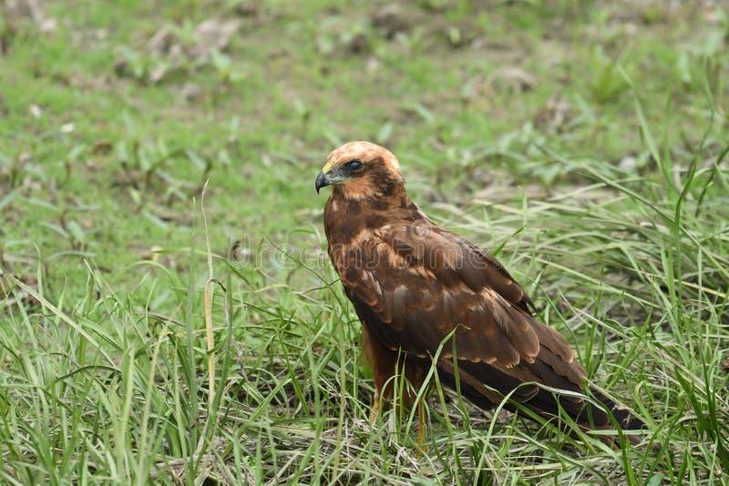Aeruginosus di Marsh Harrier Circus immagini stock libere da diritti