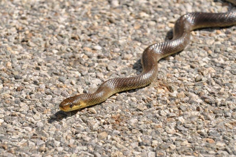 Aesculapian wąż na ulicie bierze sunbath obraz stock