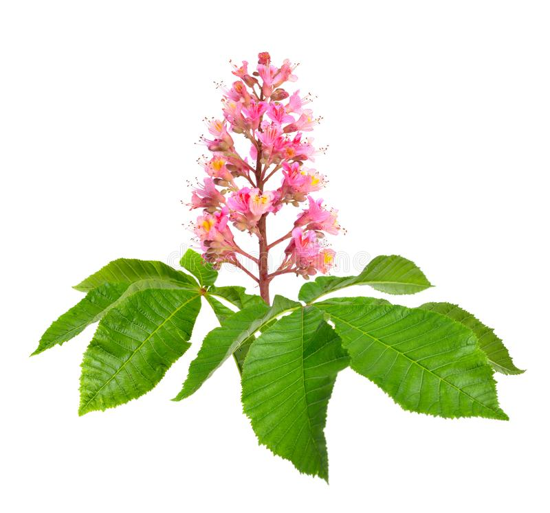 Aesculus x carnea, or red horse-chestnut. Isolated on white background royalty free stock images