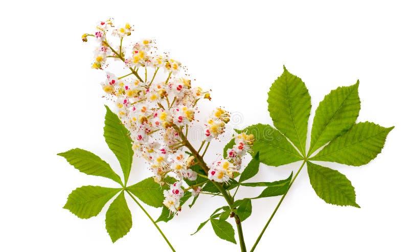 Aesculus dell'ippocastano con i leawes ed il fiore Isolato su wh fotografia stock