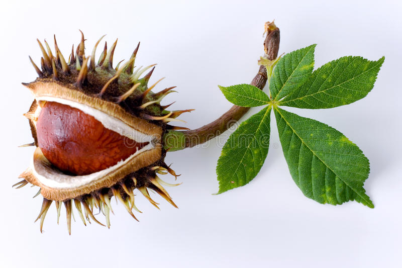 Aesculus hippocastanum/allgemeine Rosskastanie stockbild