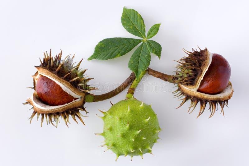 Aesculus hippocastanum / Common Horse Chestnut stock photos