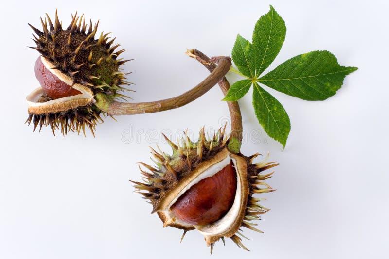 Aesculus hippocastanum / Common Horse Chestnut stock image