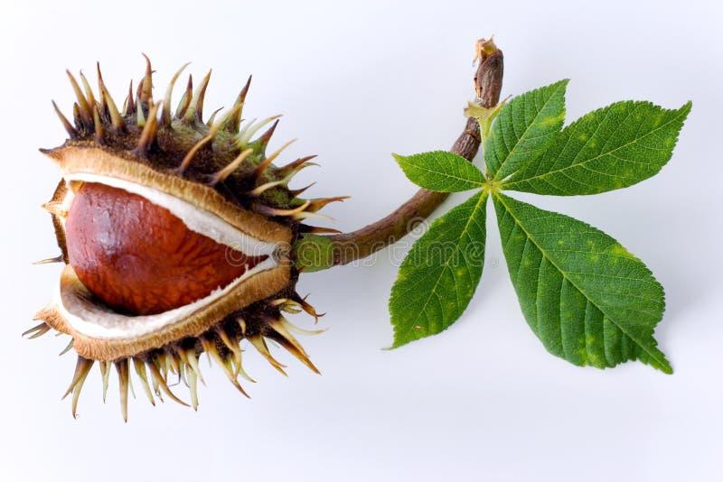 Aesculus hippocastanum/ippocastano immagine stock