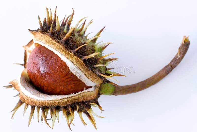 Aesculus hippocastanum/ippocastano fotografia stock
