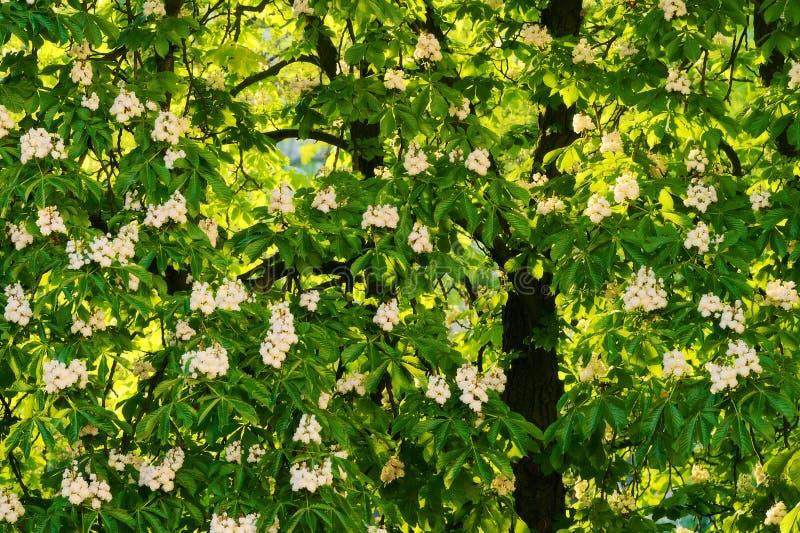 Aesculushippocastanum som gemensamt är bekant som häst-kastanj eller conkerträd i blomning arkivfoton