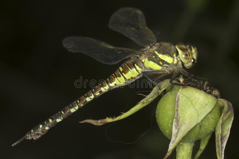Aeshna mixta / migrant hawker Dragonfly. Close-up stock photography