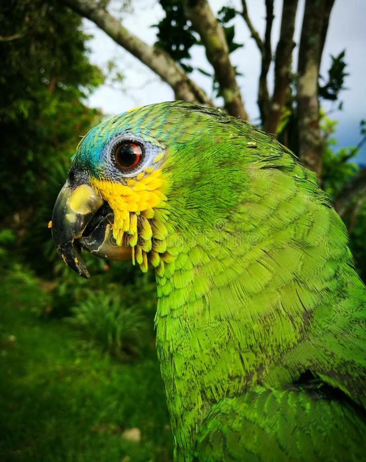 Aestiva Amazona, ένας παπαγάλος με το πράσινο σώμα, κίτρινα μάγουλα και μπλε μέτωπο στοκ εικόνες